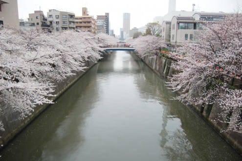 写真でわかる目黒川の桜 開花情報[2013年3月25日]