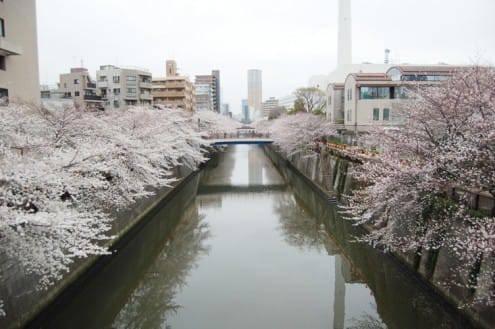 写真でわかる目黒川の桜 開花情報[2013年3月24日]