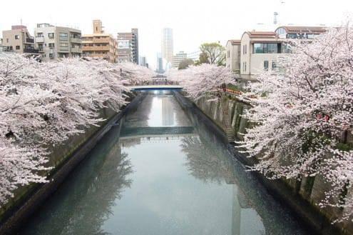写真でわかる目黒川の桜 開花情報[2013年3月29日]