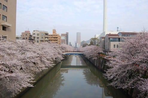 写真でわかる目黒川の桜 開花情報[2013年3月28日]