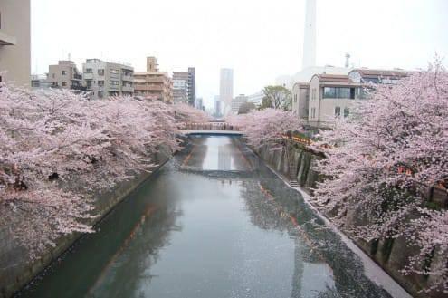 写真でわかる目黒川の桜 開花情報[2013年3月31日]