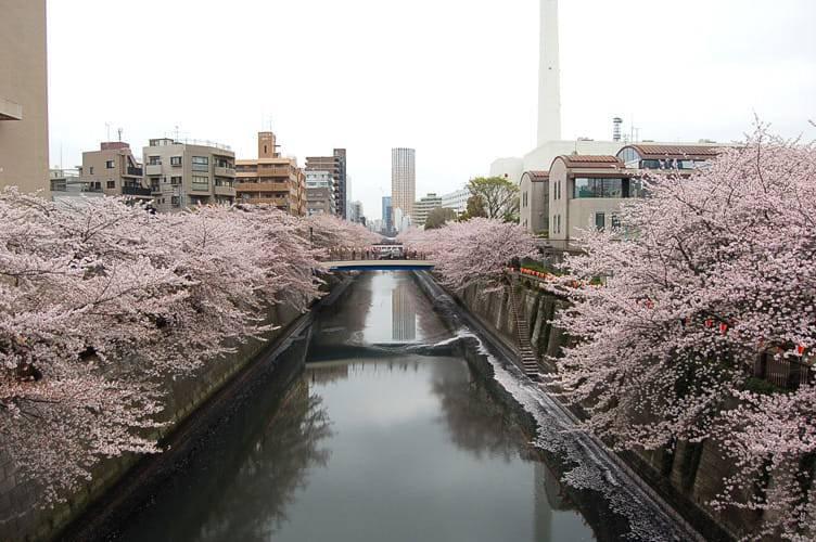 写真でわかる目黒川の桜 開花情報[2013年3月30日]