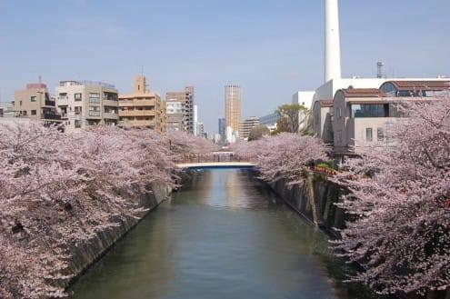 写真でわかる目黒川の桜 開花情報[2013年4月1日]