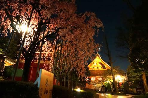 浅草寺の裏 しだれ桜