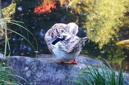黒川温泉の帆山亭の鴨の毛づくろい