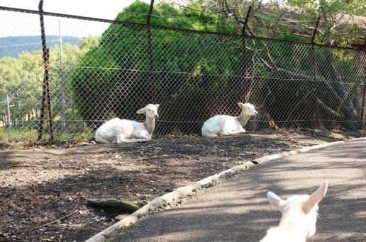 くじゅう自然動物園ののんびりしたヤギ
