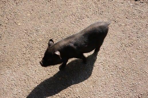 くじゅう自然動物園の自然体の豚さん
