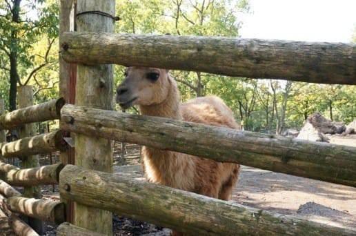 くじゅう自然動物園のじっと見つめるアルパカ