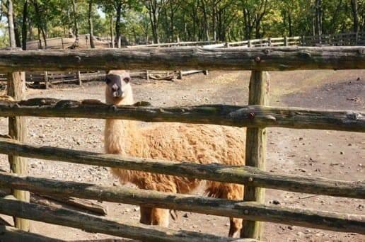くじゅう自然動物園のこっちを見ているアルパカ