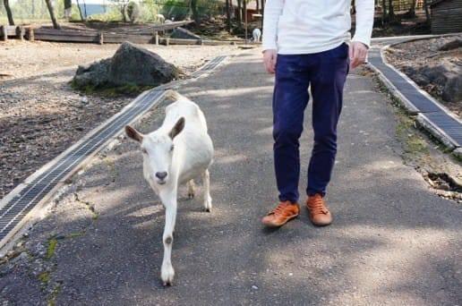 くじゅう自然動物園のヤギとお散歩