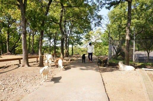 くじゅう自然動物園の黒ヤギと散歩
