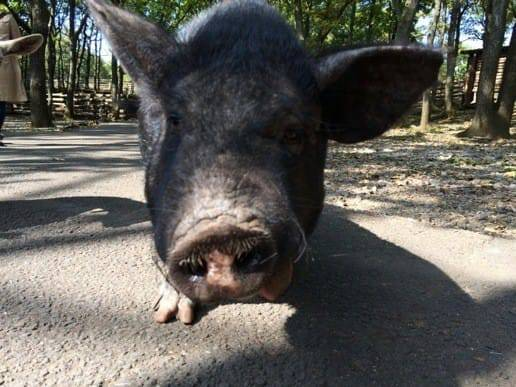くじゅう自然動物園の豚のアップ